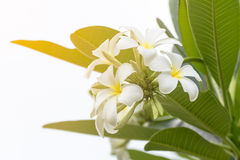 Blume Lan-Thom Lizenzfreie Stockfotografie