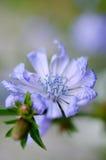 Blume-lila Stockbild