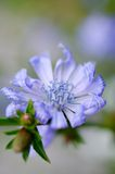 Blume lila. Eine Blume lila im Park aufgenommen Stock Image