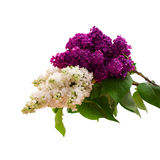 Blume lokalisierte lila Niederlassung Stockfotografie