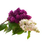 Blume lokalisierte lila Niederlassung Lizenzfreies Stockfoto