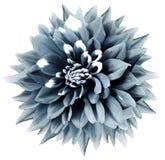 Blume lokalisierte Türkisdahlie Weißer Hintergrund mit Beschneidungspfad nave nahaufnahme lizenzfreie stockbilder