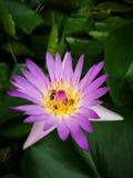 Blume Lotus Lizenzfreies Stockfoto