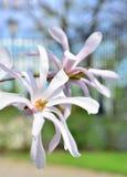 Blume-Magnolie Stockfotos