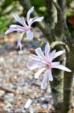 Blume-Magnolie Stockbild