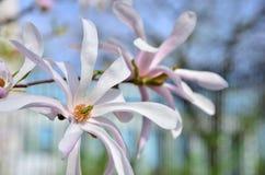 Blume-Magnolie Stockfoto
