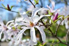Blume-Magnolie Lizenzfreie Stockfotos