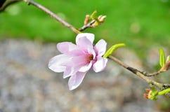 Blume-Magnolie Lizenzfreie Stockbilder