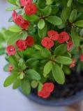 Blume mit acht Unsterblichen, mit acht Unsterblichen Lizenzfreie Stockfotos