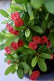 Blume mit acht Unsterblichen, mit acht Unsterblichen Stockfotografie