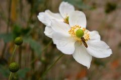 Blume mit Biene Stockfoto