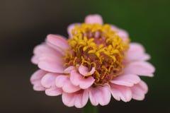 Blume mit den rosa Blumenblättern und gelbem innerem Lizenzfreie Stockbilder