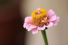 Blume mit den rosa Blumenblättern und gelbem innerem Lizenzfreie Stockfotografie