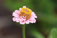 Blume mit den rosa Blumenblättern und gelbem innerem Stockbild