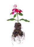 Blume mit der Wurzel getrennt auf Weiß Stockfotografie