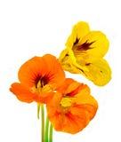 Blume mit drei Kapuzinerkäsen Lizenzfreie Stockfotos