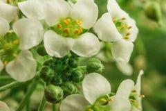 Blume mit einem Geruch mögen Honig stockbilder