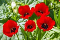 Blume mit fünf Klatschmohnen in einem Garten, Frankreich Stockbilder