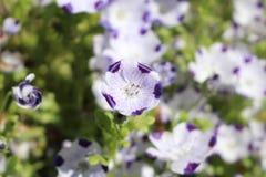Blume mit fünf Stellen - Nemophila Maculata lizenzfreie stockbilder