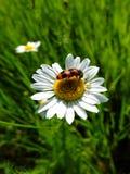 Blume mit Käfer Stockfoto