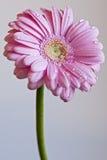 Blume mit Tautropfen Lizenzfreie Stockfotografie