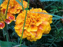 Blume nach dem Sturm Lizenzfreie Stockbilder