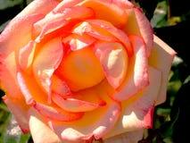 Blume nah oben mit den orange, gelben und rosa Blumenblättern Lizenzfreies Stockfoto