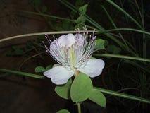 Blume Pamukkale Stockfoto