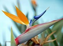 Blume - Paradiesvogel Lizenzfreies Stockfoto