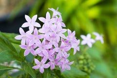 Blume Pentas Lanceolata lizenzfreie stockfotos