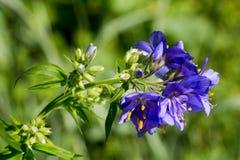Blume Polemonium caeruleum Stockbilder