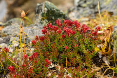 Blume Rhodiola-rosea roseroot Berge Stockfoto