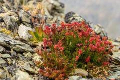 Blume Rhodiola-rosea roseroot Berge Lizenzfreie Stockbilder