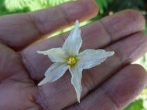 Blume riesiger Teufel ` s Feige, Nachtschatten chrysotrichum Stockfoto