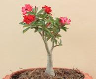 Blume rosa Adenium Stockbild
