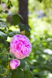 Blume Rosa Centifolias (Rosen-DES Peintres) Lizenzfreies Stockbild