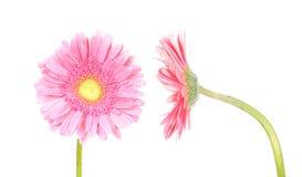 Blume rosafarbener Gerbera (vordere und Seitenansicht) Stockbilder