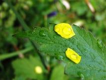 Blume Rose Drops Petals Lizenzfreies Stockbild