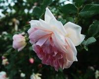 Blume, Rosen, chinesische Rosen Lizenzfreie Stockfotos
