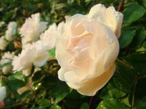 Blume, Rosen, chinesische Rosen Stockfotografie