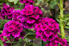 Blume rot und rosa Stockfotografie