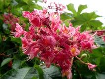 Blume - rote Rosskastanie, Stockbild