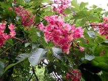 Blume - rote Rosskastanie, Lizenzfreie Stockfotografie
