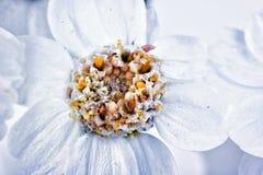 Blume Schafgarbe oder Achillea Lizenzfreies Stockbild