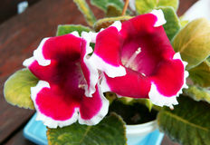 Blume Sinningia speciosa Lizenzfreie Stockfotografie