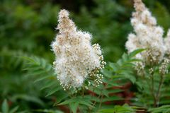 Blume Sorbaria-sorbifolia stockfotografie