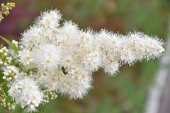Blume Sorbaria-sorbifolia u. x28; LAT Sorbaria-sorbifolia& x29; lizenzfreies stockfoto