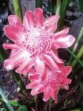 Blume in Sri Lanka Stockfotos