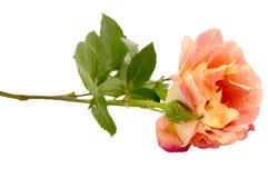 Blume stieg Lizenzfreies Stockfoto