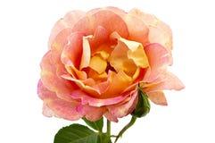 Blume stieg Stockfotografie